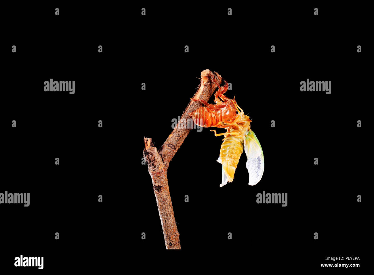 A cicada metamorphoses on a branch, A cicada is molting on a branch,black background - Stock Image