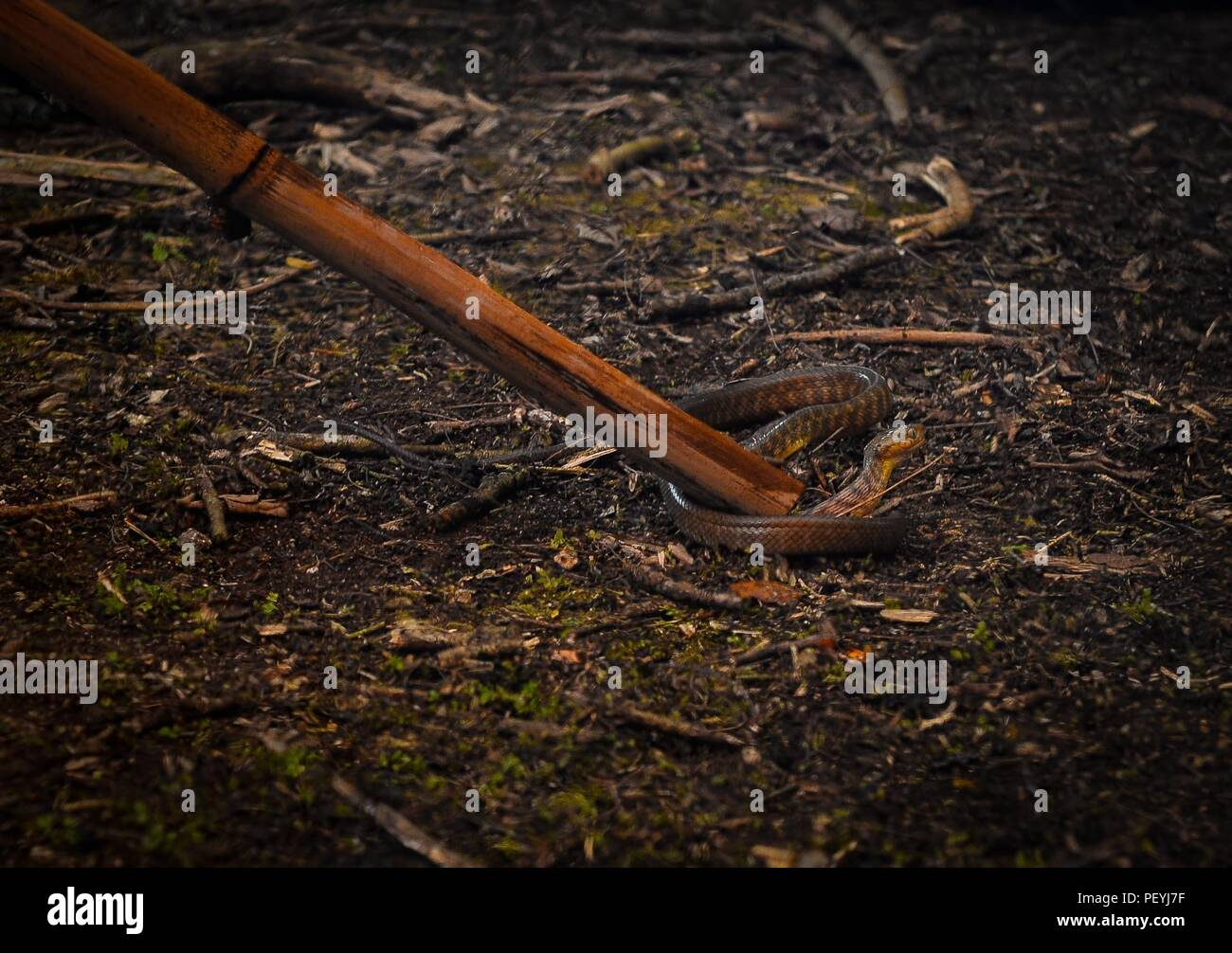 4c977dc35533 Snake Staff Stock Photos   Snake Staff Stock Images - Page 3 - Alamy