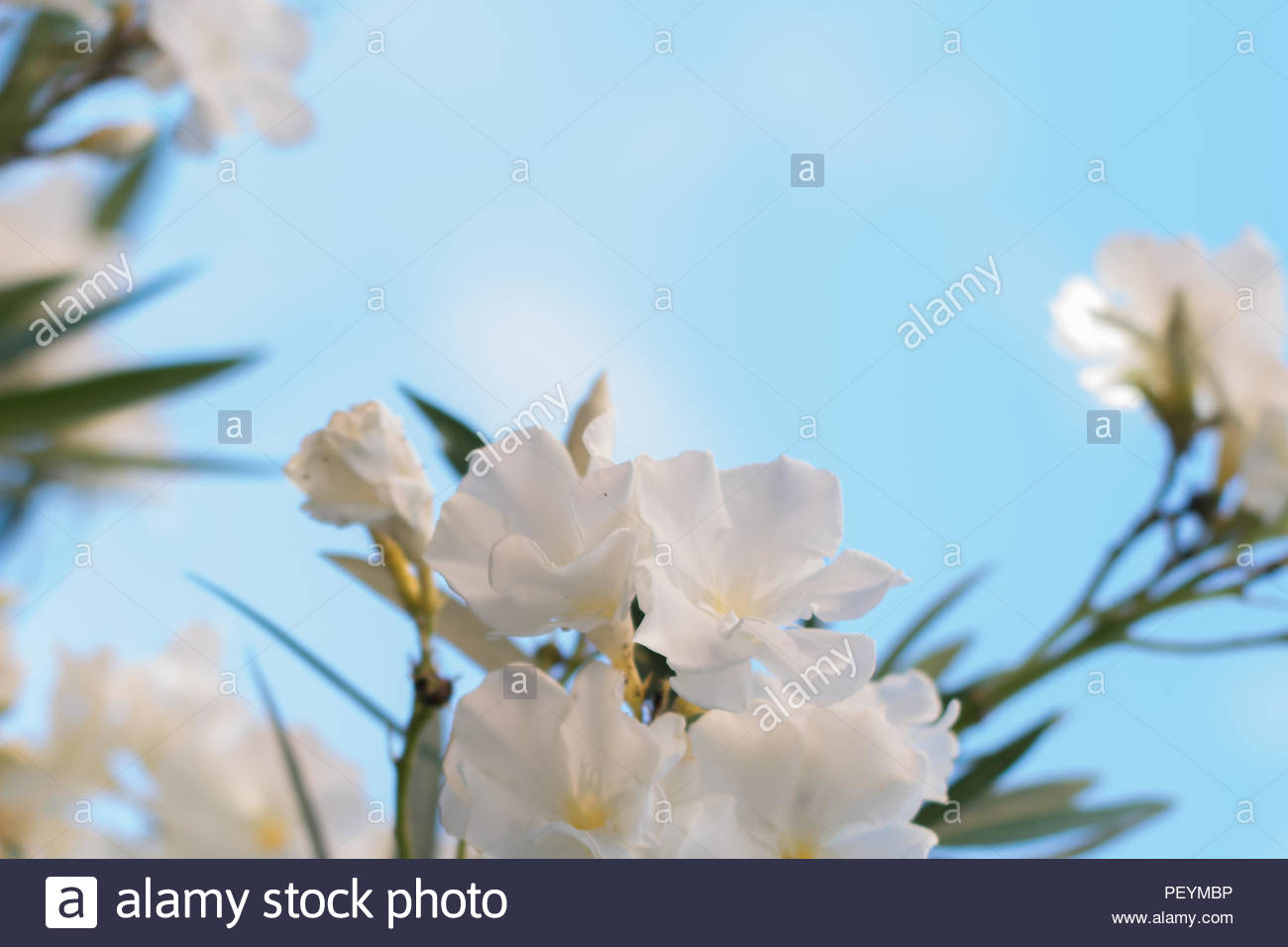 White Fresh Flowers On Blue Background For Text Stock Photo
