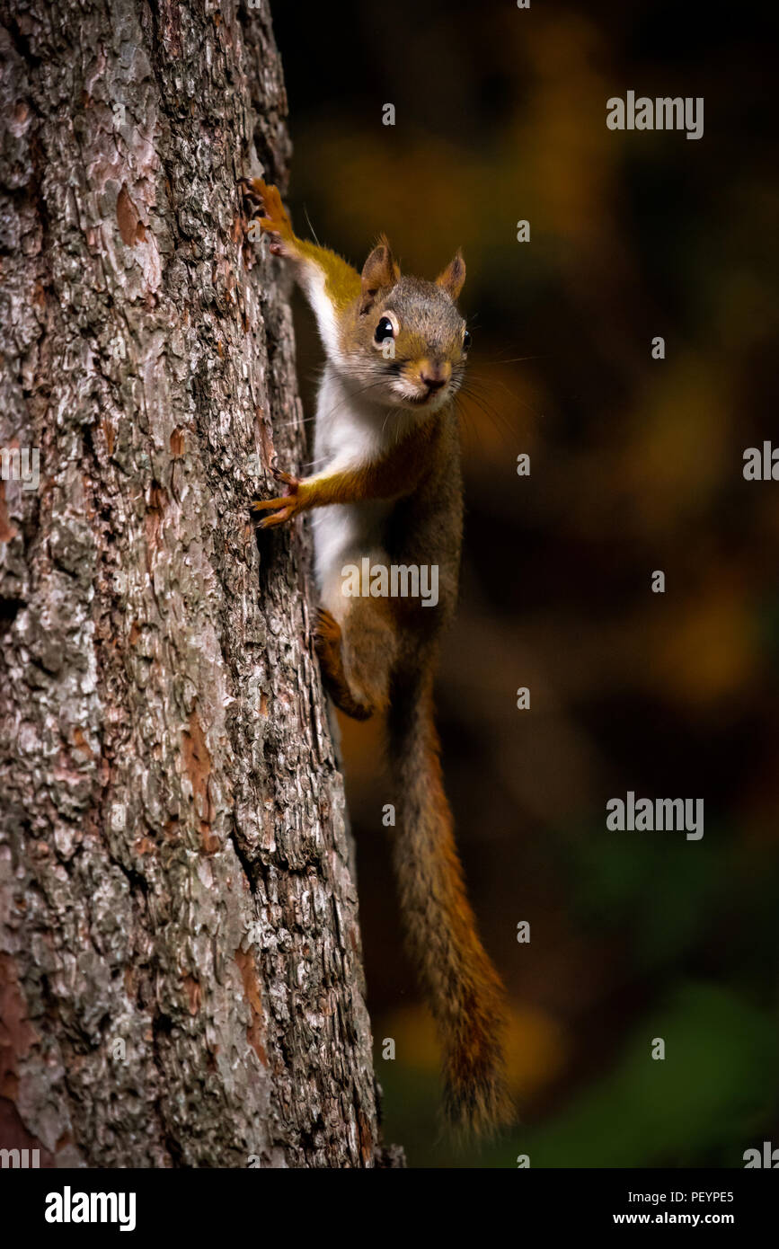 American red squirrel (Tamiasciurus hudsonicus) hanging on side of a tree trunk. Stock Photo