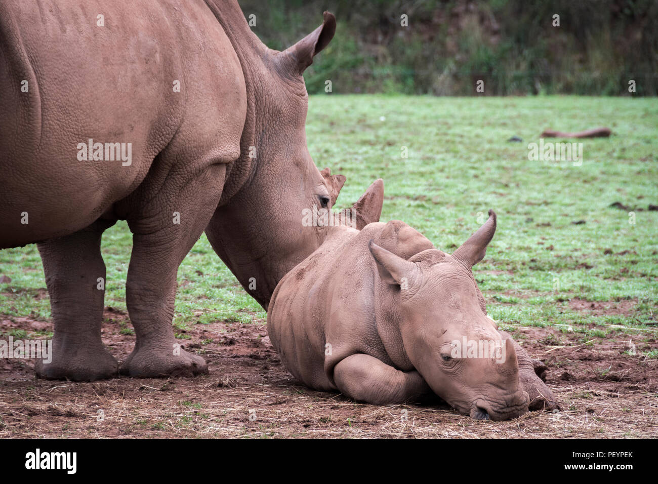 The white rhinoceros and calf - Stock Image