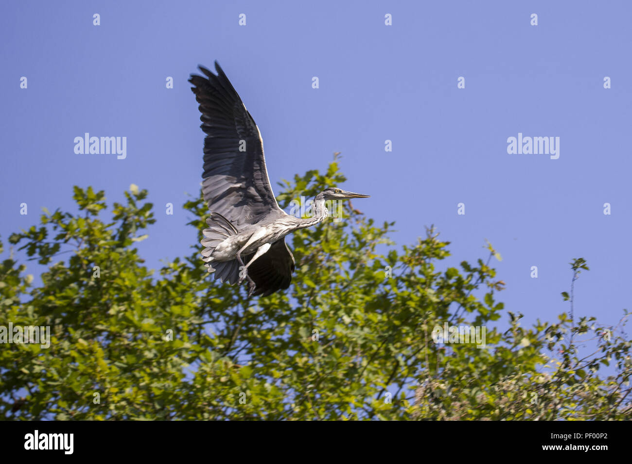 August 15, 2018 - Rust, Baden-Wurttemberg, Germany - Gray heron in flight on a boat trip through the nature reserve Taubergießen near the Europa-Park Rust Credit: Jannis Grosse/ZUMA Wire/Alamy Live News - Stock Image