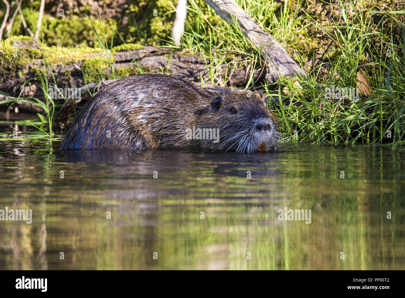 August 15, 2018 - Rust, Baden-Wurttemberg, Germany - Nutria swims past the boat on a boat trip through the nature reserve Taubergießen near the Europa-Park Rust Credit: Jannis Grosse/ZUMA Wire/Alamy Live News - Stock Image