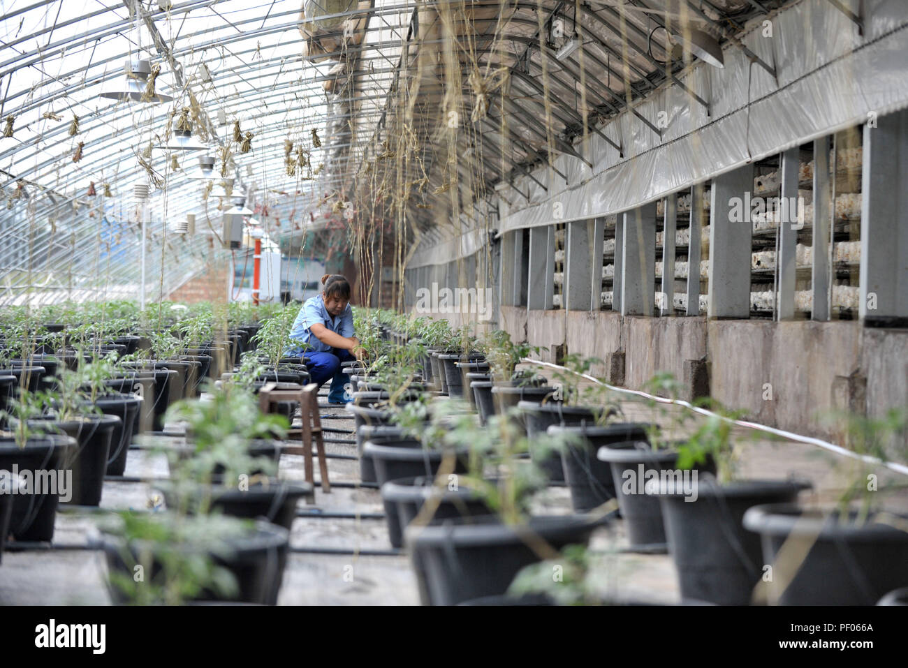 Ningxia, China. 18th August 2018. A farmer works at a tomato photovoltaic greenhouse in Minning Township in Yinchuan, northwest China's Ningxia Hui Autonomous Region, Aug. 17, 2018. Minning has converted from a town in Gobi desert to a modernized ecological relocation demonstration town over the past 21 years via a series of cooperation between Ningxia and southeast China's Fujian. Cattle breeding, red raspberry planting, photovoltaic agriculture and export of labor forc Credit: Xinhua/Alamy Live News Credit: Xinhua/Alamy Live News - Stock Image