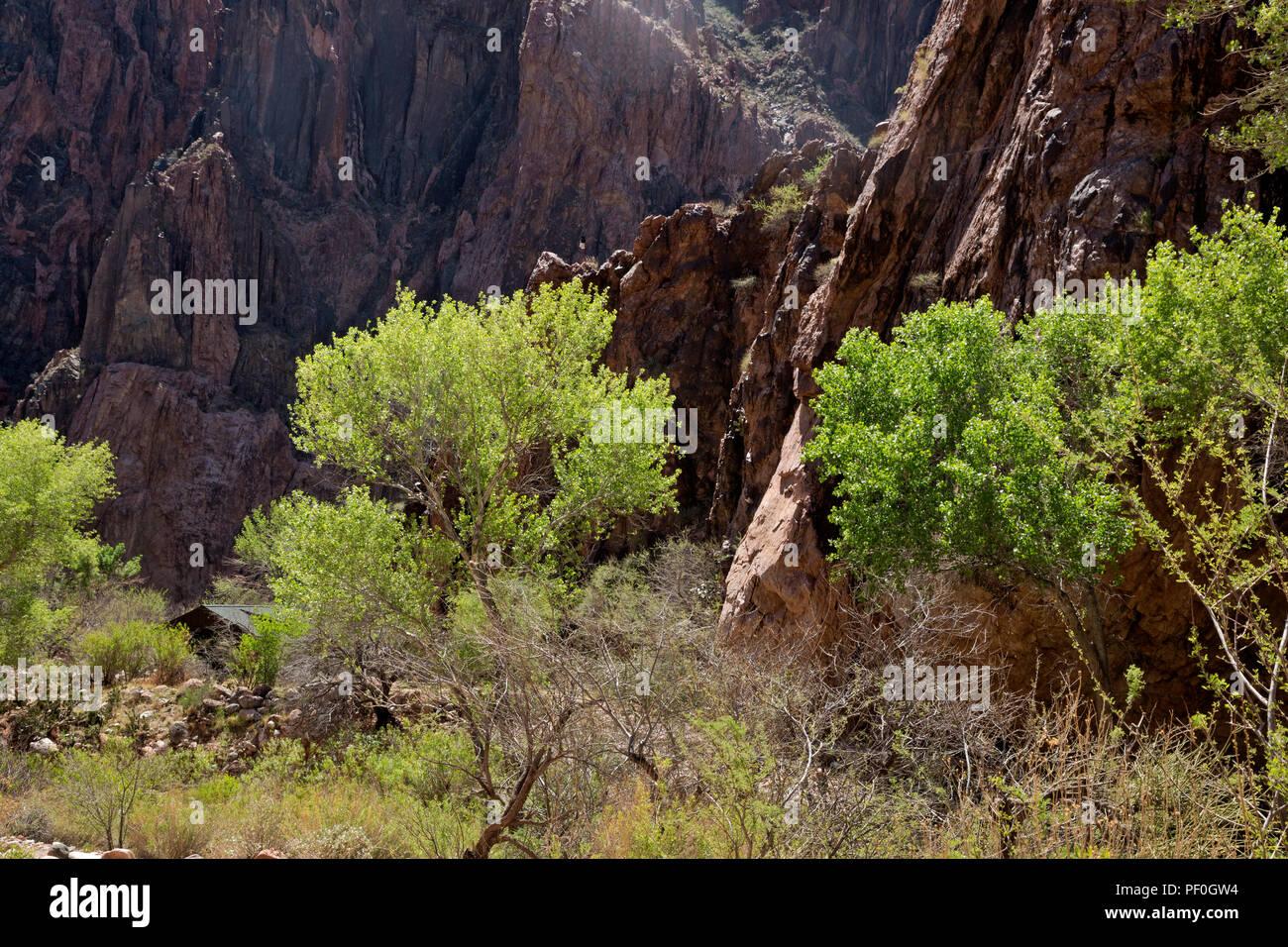 AZ00294-00...ARIZONA - Vegetation along Bright Angel Creek in the Phantom Ranch area of Grand Canyon National Park. - Stock Image