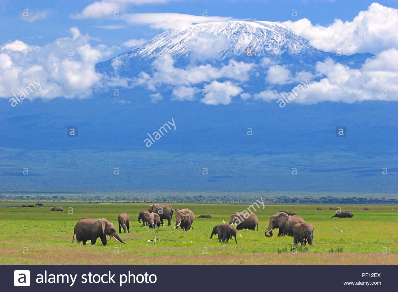 African bush elephant or African elephant (Loxodonta africana), group at Mount Kilimanjaro, Amboseli Nationalpark, Kenya - Stock Image