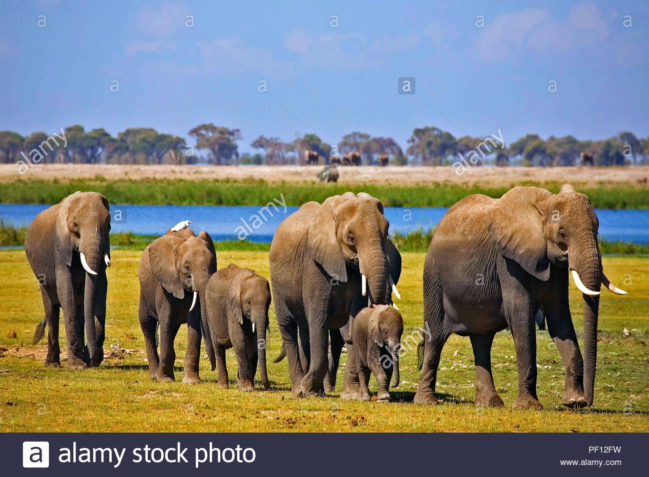 African bush elephant or African elephant (Loxodonta africana), Amboseli Nationalpark, Kenya - Stock Image