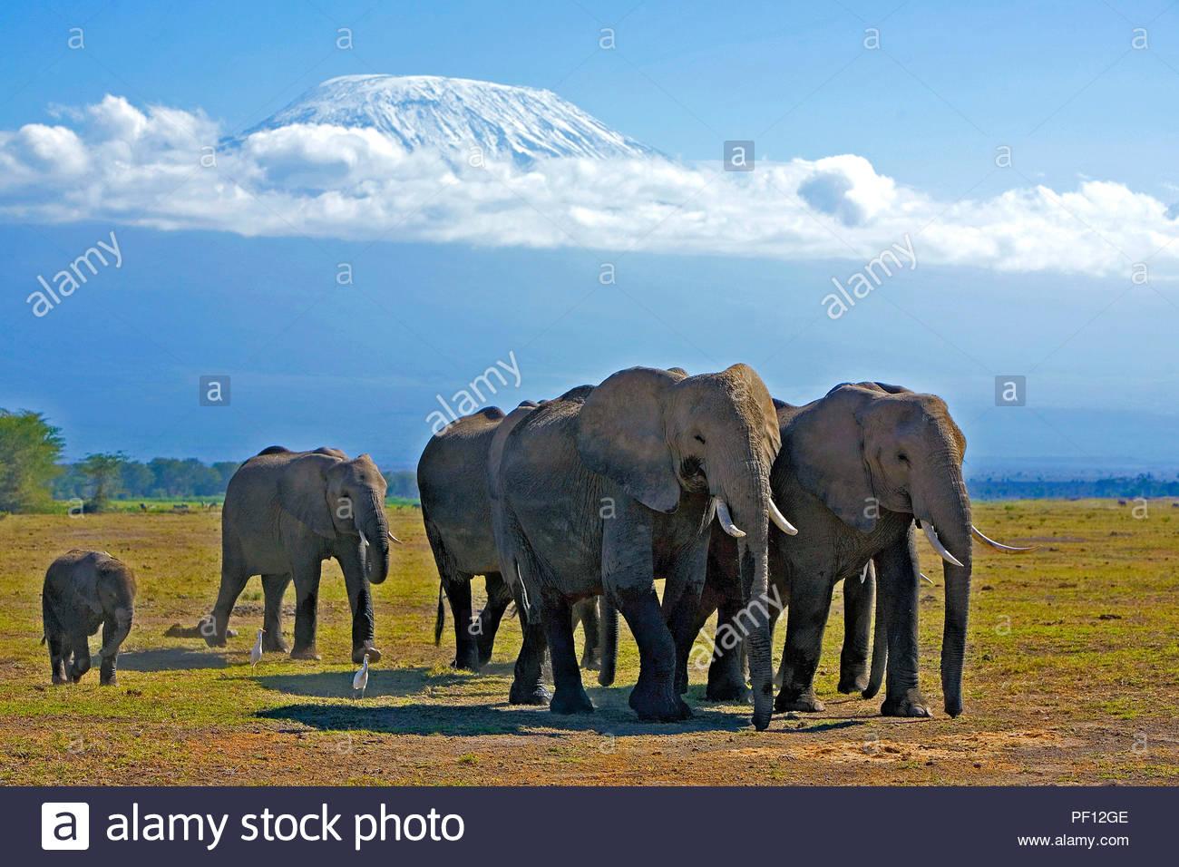African bush elephant or African elephant (Loxodonta africana), herd at Mount Kilimanjaro, Amboseli Nationalpark, Kenya - Stock Image