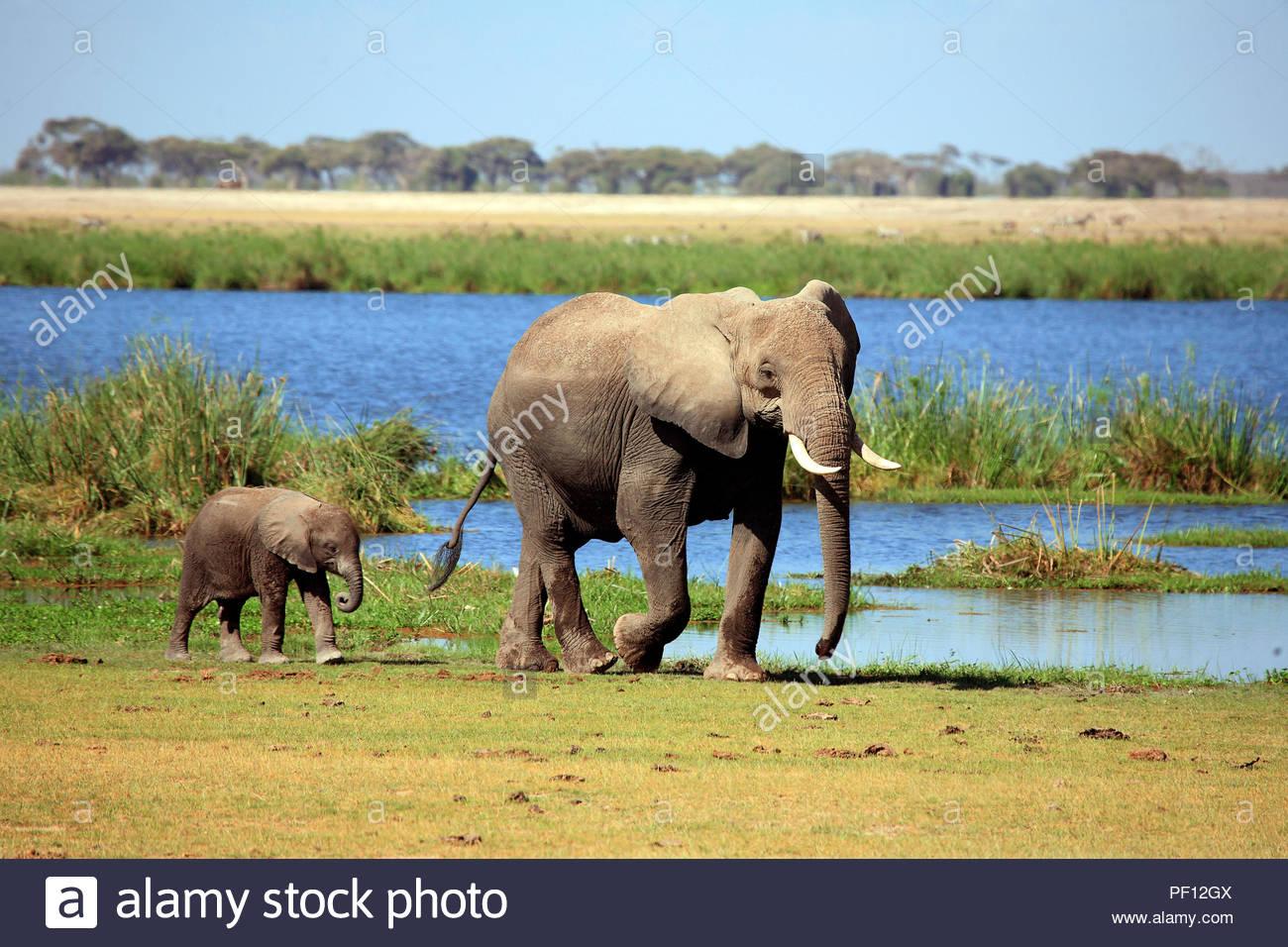 Afrikanische Elefanten (Loxodonta africana), Amboseli-Nationalpark, Kenia   African bush elephant or African elephant (Loxodonta africana) adult with  - Stock Image