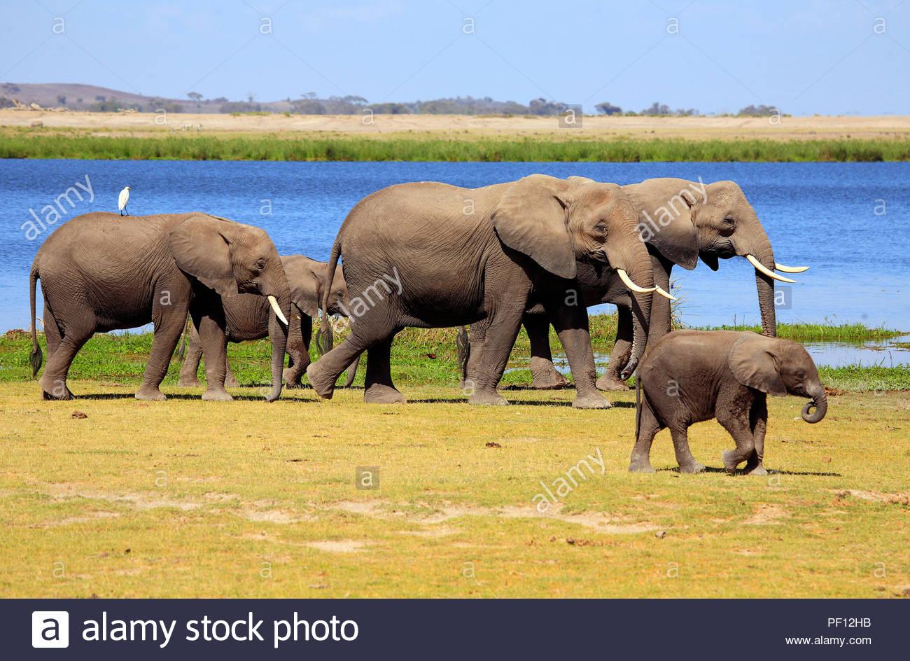 Afrikanische Elefanten (Loxodonta africana), Amboseli-Nationalpark, Kenia   African bush elephant or African elephant (Loxodonta africana), Amboseli N - Stock Image