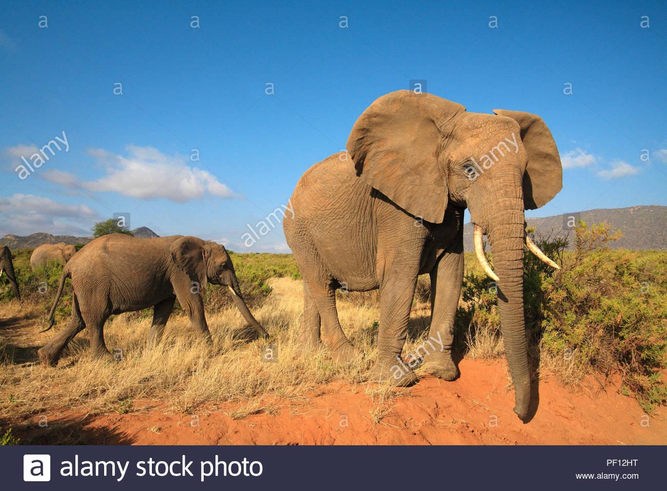 Afrikanische Elefanten (Loxodonta africana), Samburu, Kenia | African bush elephant or African elephant (Loxodonta africana), Samburu, Kenya - Stock Image