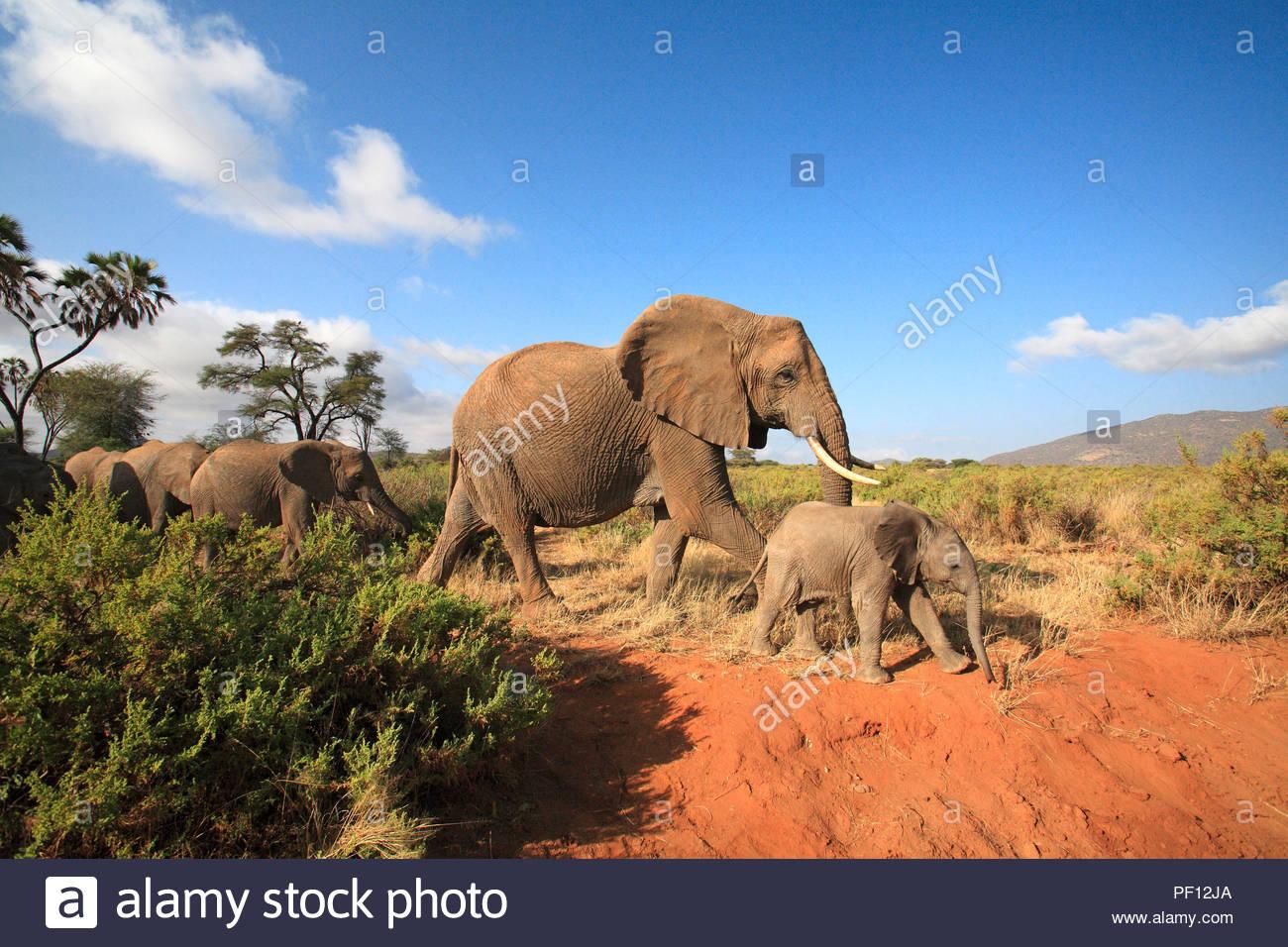 Afrikanische Elefanten (Loxodonta africana), Samburu, Kenia   African bush elephant or African elephant (Loxodonta africana), adults with calf, Sambu - Stock Image
