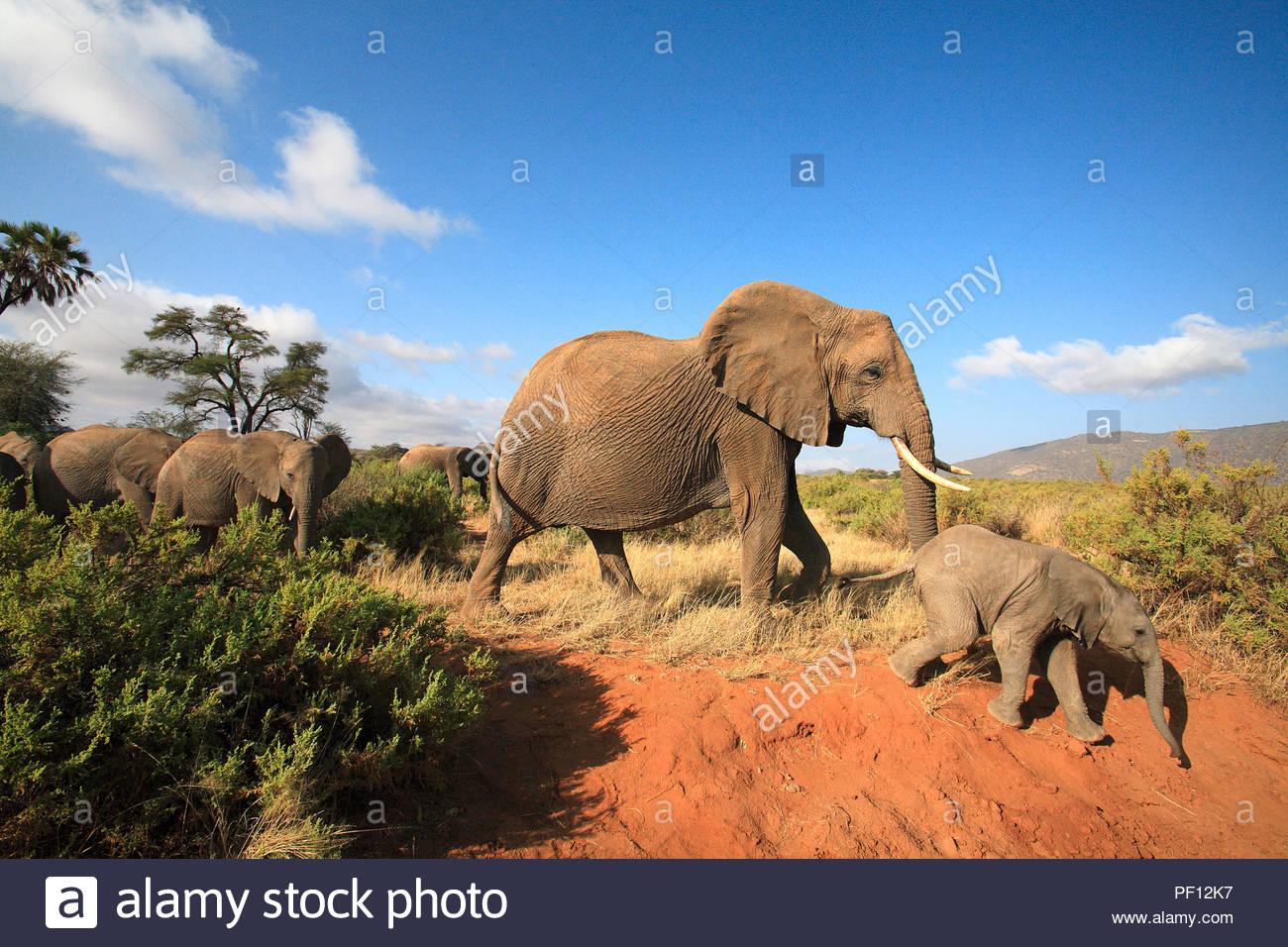 Afrikanische Elefanten (Loxodonta africana), Samburu, Kenia | African bush elephant or African elephant (Loxodonta africana), adults with calf, Sambu - Stock Image