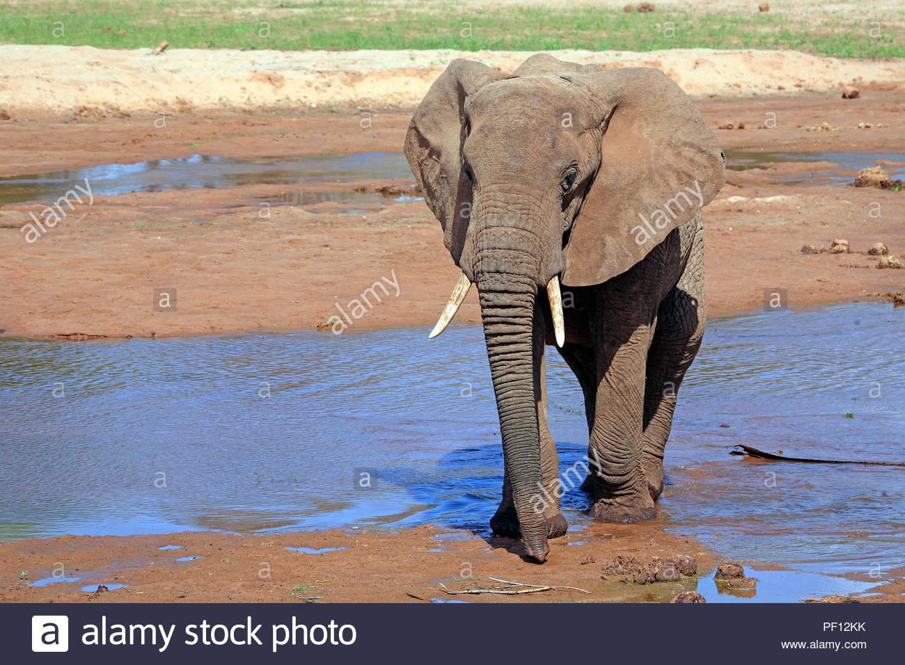 Afrikanischer Elefant (Loxodonta africana), Samburu, Kenia | African bush elephant or African elephant (Loxodonta africana), adult, Samburu, Kenya - Stock Image