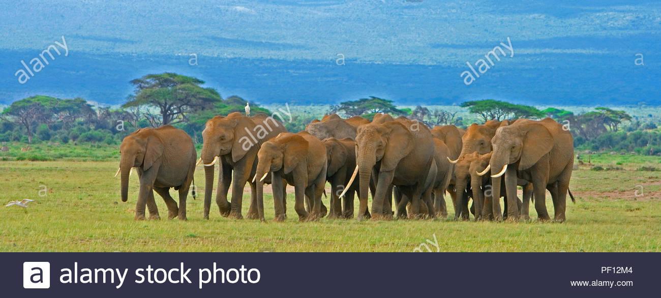 African bush elephant or African elephant (Loxodonta africana), herd at Amboseli Nationalpark, Kenya - Stock Image