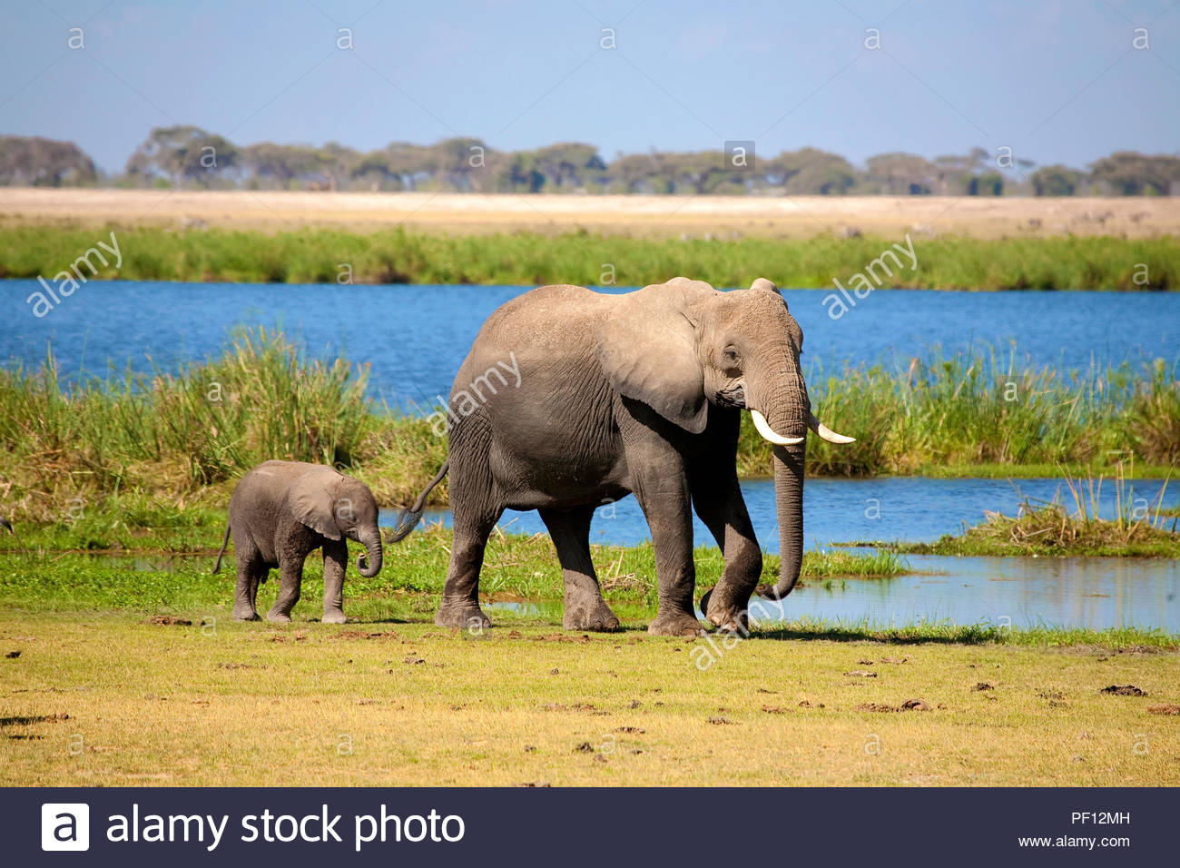 African bush elephant or African elephant (Loxodonta africana) adult with calf, Amboseli Nationalpark, Kenya - Stock Image