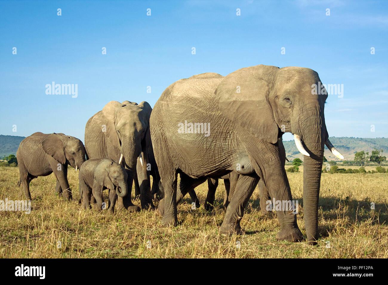 African bush elephant or African elephant (Loxodonta africana) herd at Samburu, Kenya - Stock Image