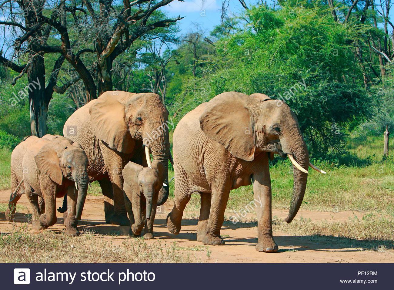Afrikanische Elefanten (Loxodonta africana), Samburu, Kenia   African bush elephant or African elephant (Loxodonta africana), Samburu, Kenya - Stock Image