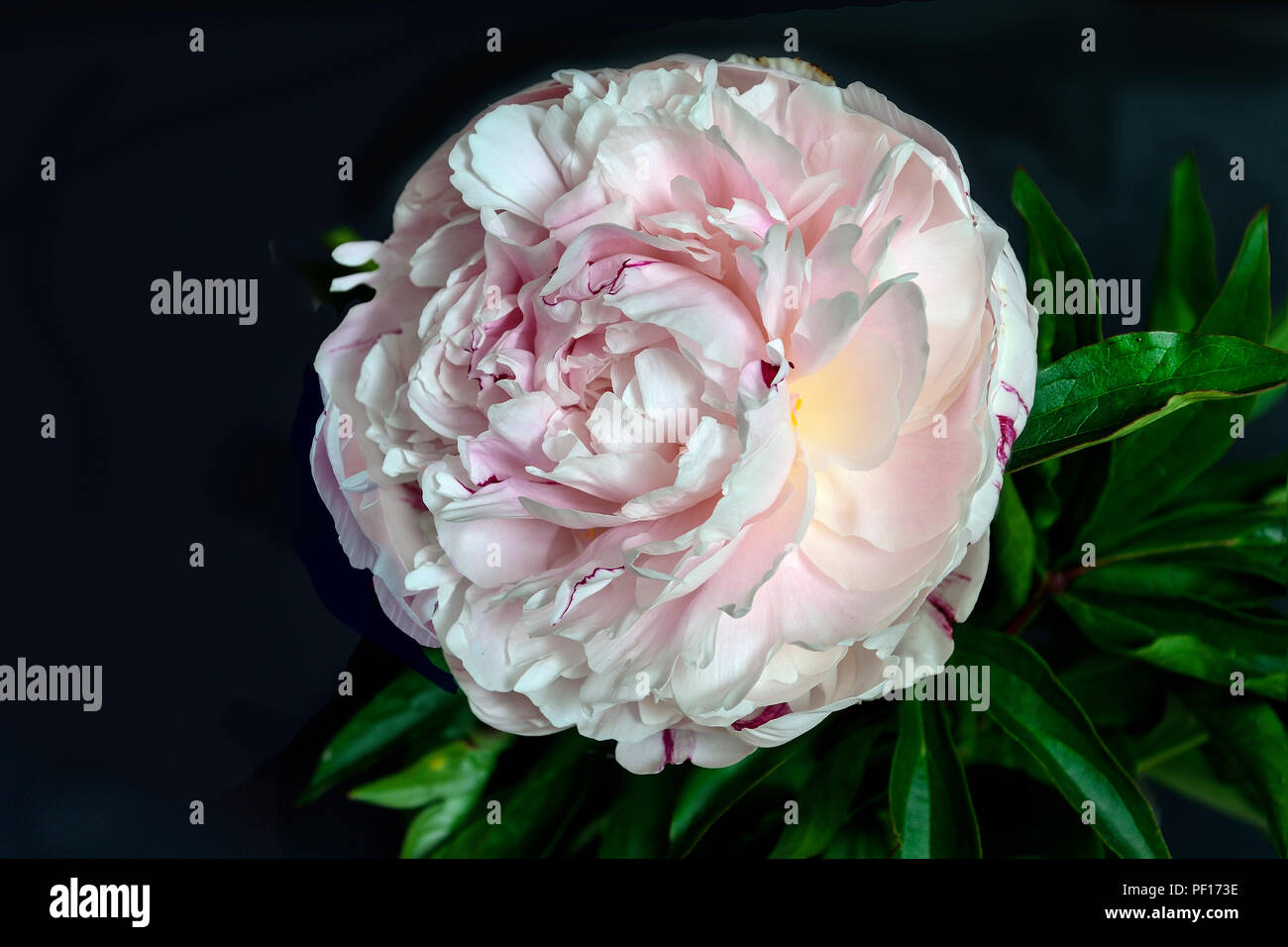 Beautiful gentle white-pink peony close up on a black background isolated with green leaves. Flowers with delicate petals and delicate aroma. Concept  - Stock Image
