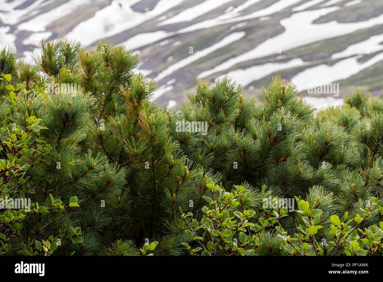 Cedar (Pinus pumila) growing near snow capped mountain. Kamchatka Peninsula, Russia - Stock Image