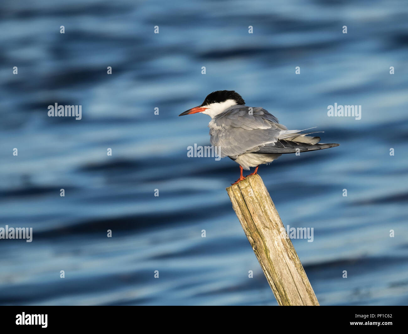 Common Tern (Sterna Hirundo) perched on post looking left - Stock Image