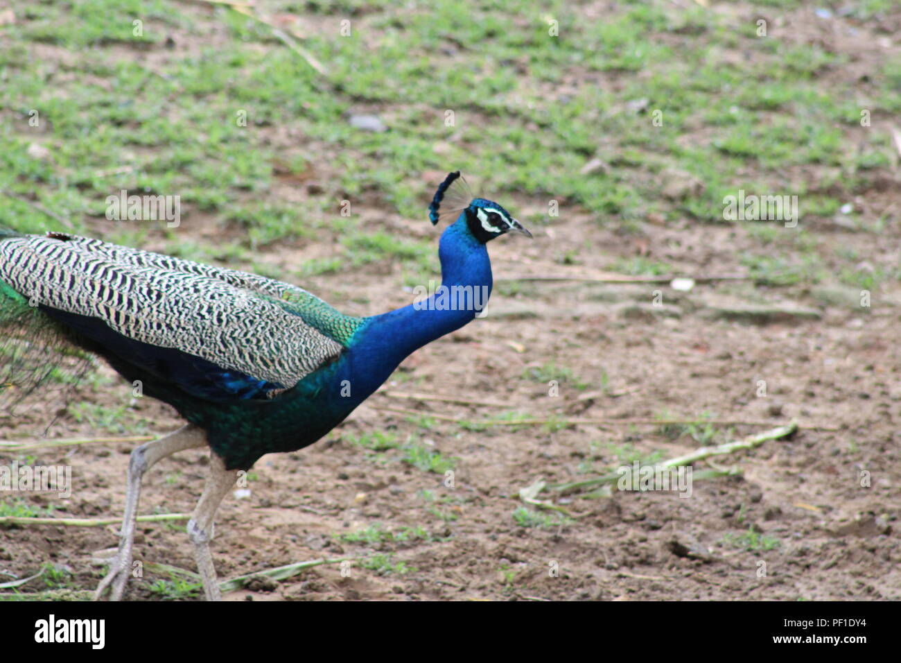 Beautiful Nature in rainy season. beautiful wild life and wild animal .Peacock and peahen - Stock Image