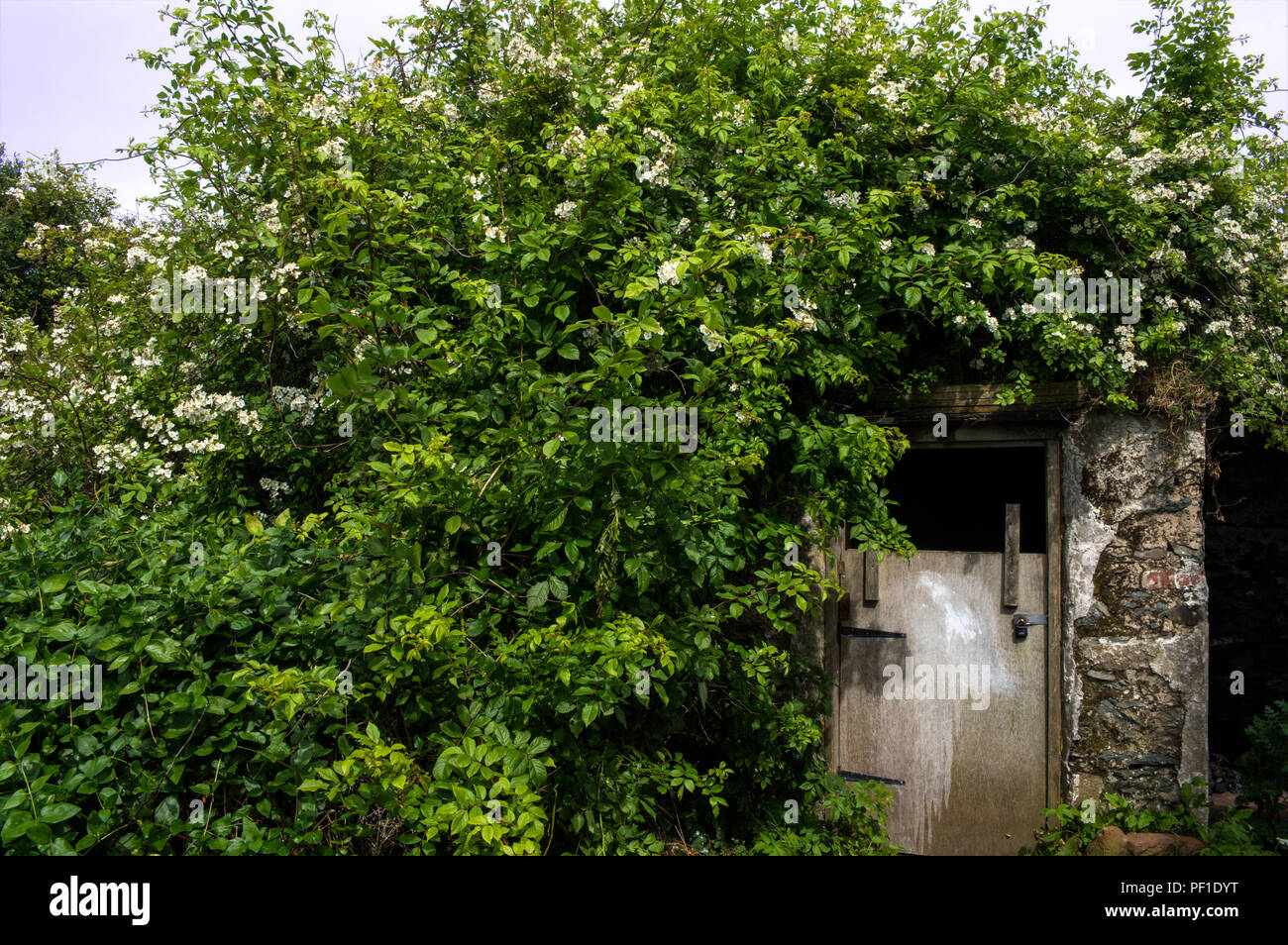 A rose bush growing over a stone shed - Stock Image