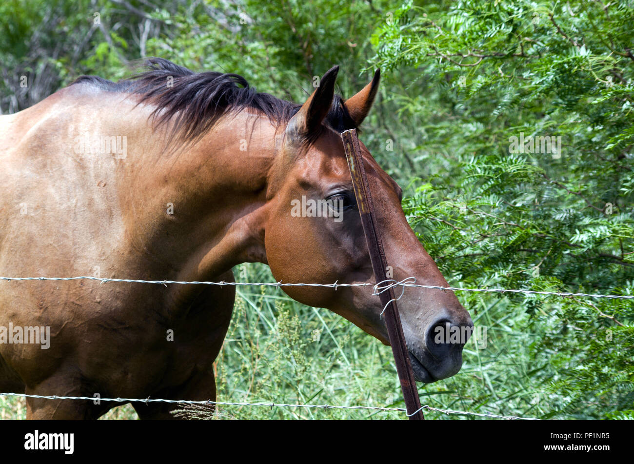 A Bay Horse with an inquisitive posture behind barbed wire fencing.Photographed on an undeveloped lot in suburban Corpus Christi, Texas USA. - Stock Image