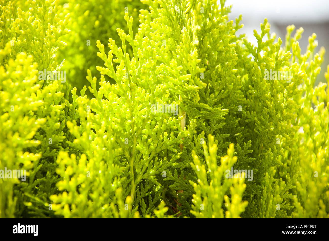 thuya evergreen garden bush - Stock Image