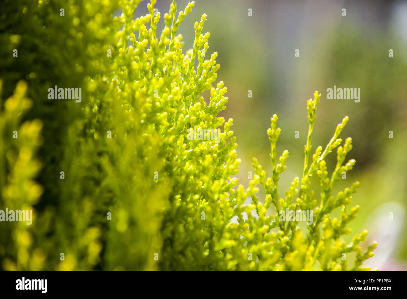 thuya evergreen garden bush Stock Photo