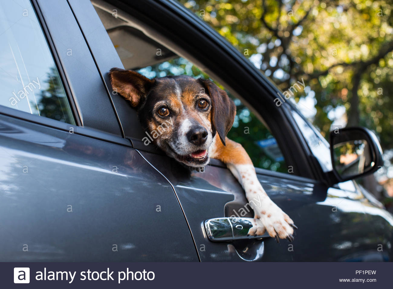 Beagle with silly goofy smile resting head and leg outside of car window - Stock Image
