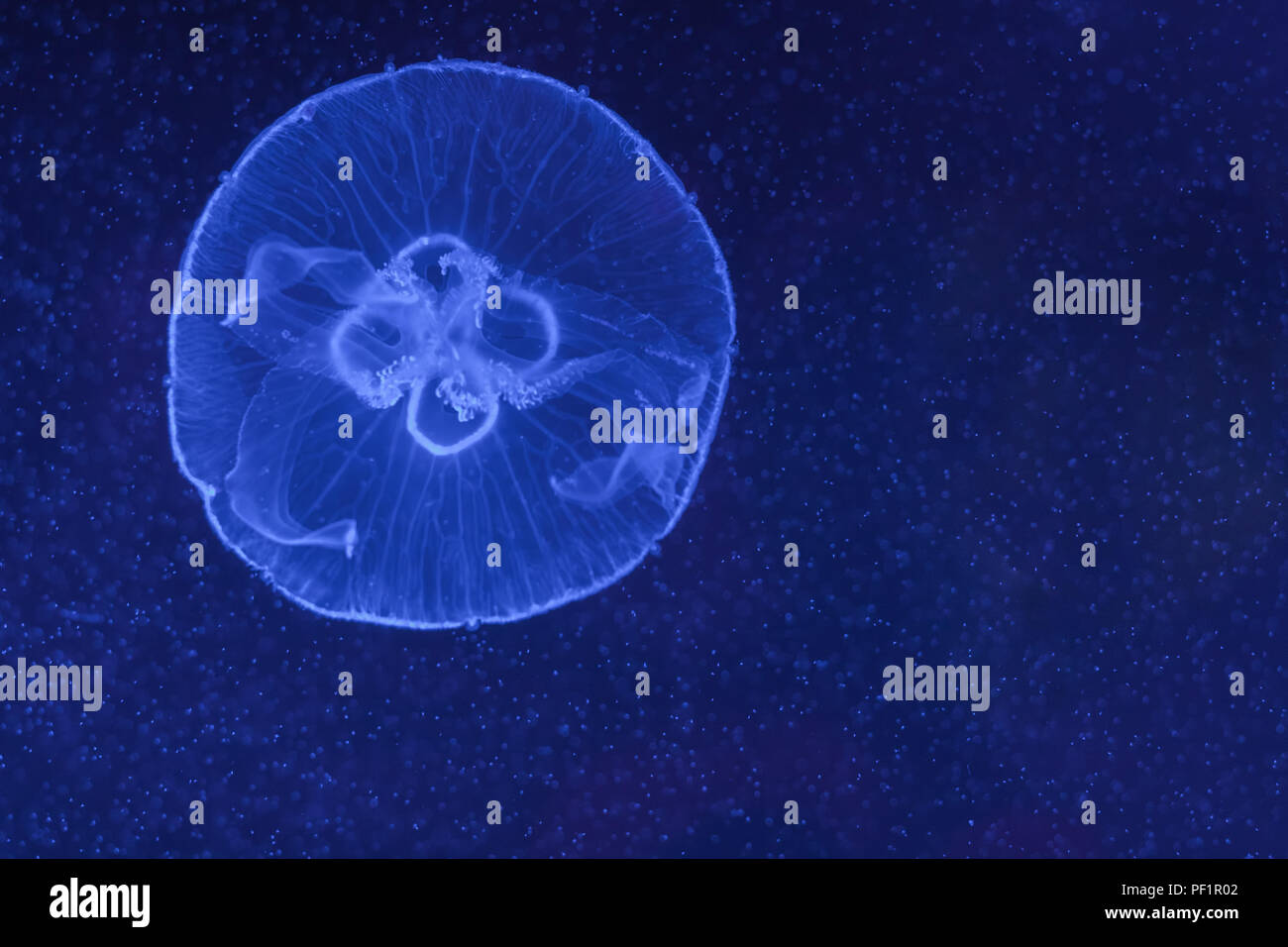 Small Jellyfish Stock Photos & Small Jellyfish Stock Images - Alamy
