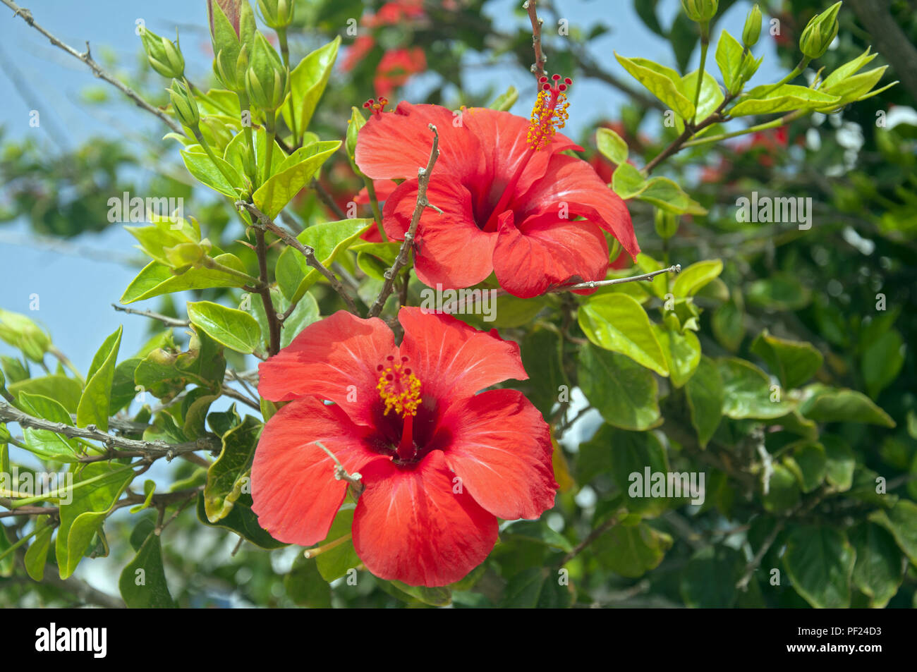 Two Big Red Flowers On The Hibiscus Tree Summer Spain Stock Photo