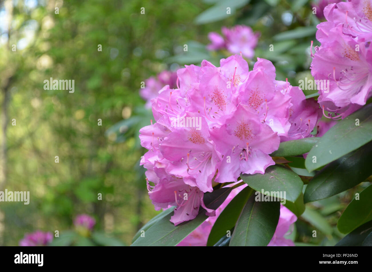 Pink Flowering Rhododendron Bush With Big Pink Flowers Stock Photo