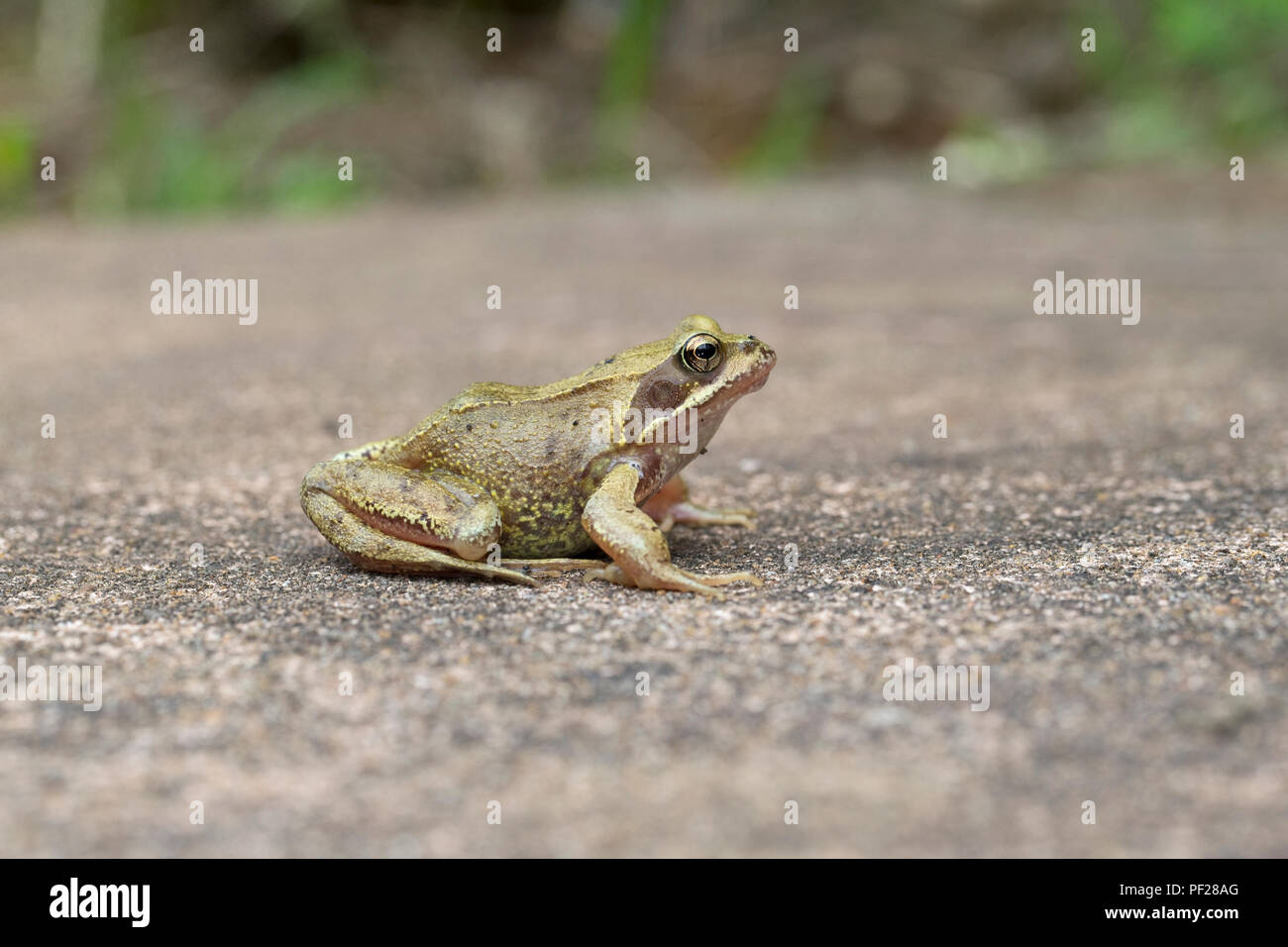 Common Frog (Rana temporaria) Surrey GB UK August 2018 - Stock Image
