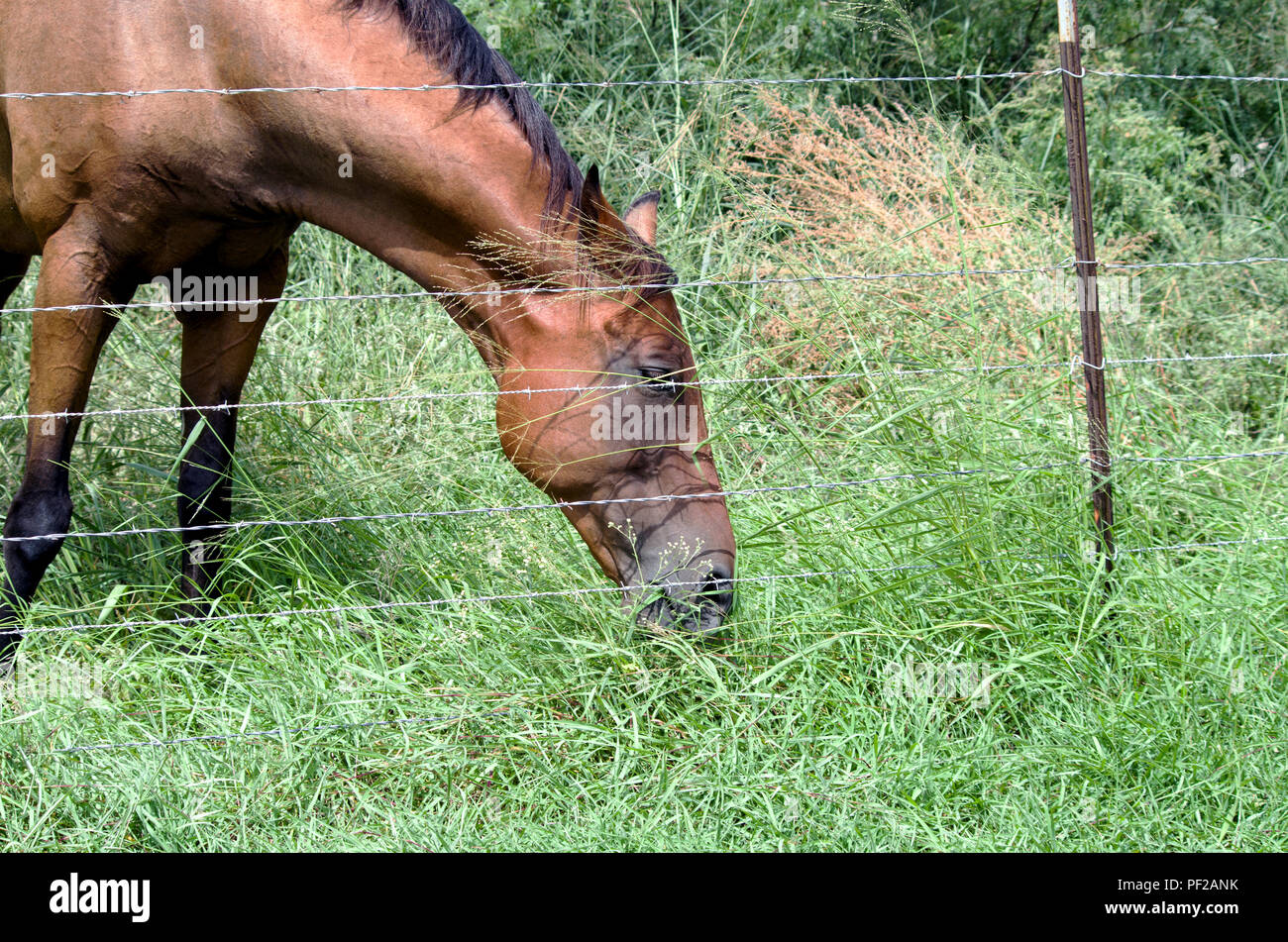 A Bay Horse grazes peacefully on Johnson grass inside barbed wire fencing. Photographed on an undeveloped lot in suburban Corpus Christi, Texas USA. - Stock Image