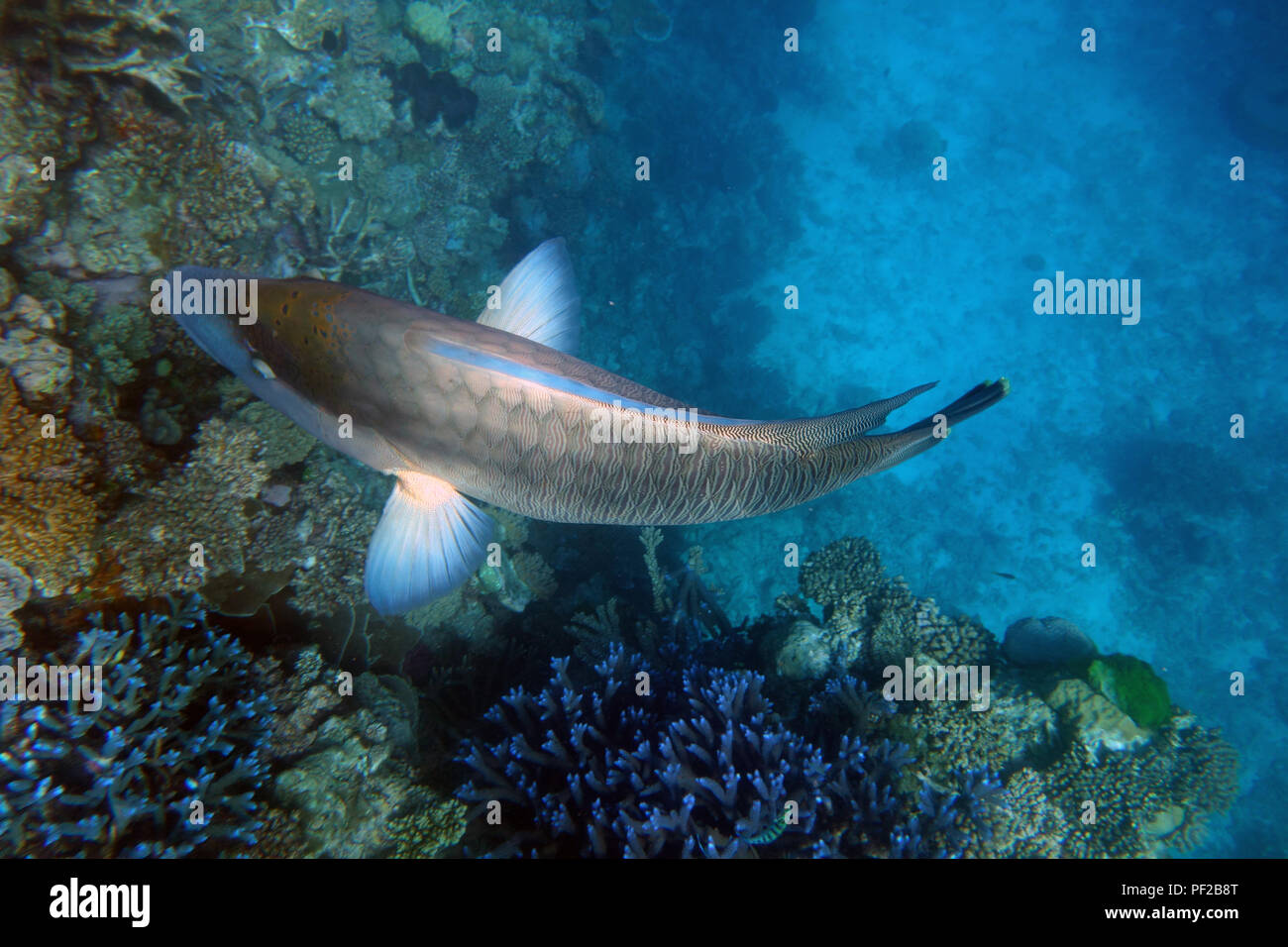 Large maori wrasse (Cheilinus undulatus) showing details of pectoral fins, Moore Reef, Great Barrier Reef, near Cairns, Queensland, Australia - Stock Image