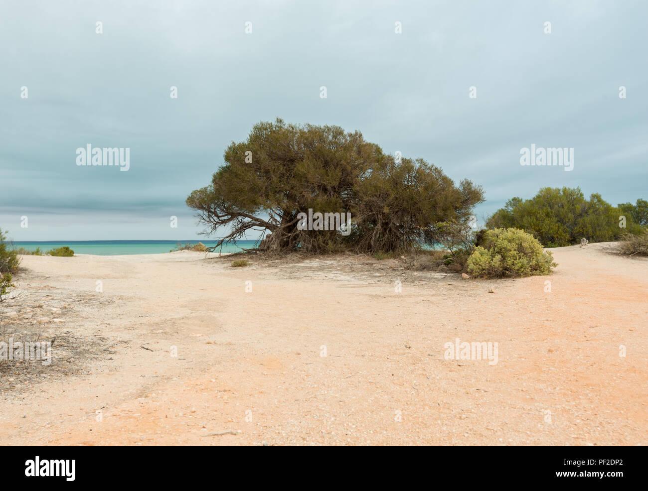 A bush in the sand, at shark bay western Australia - Stock Image
