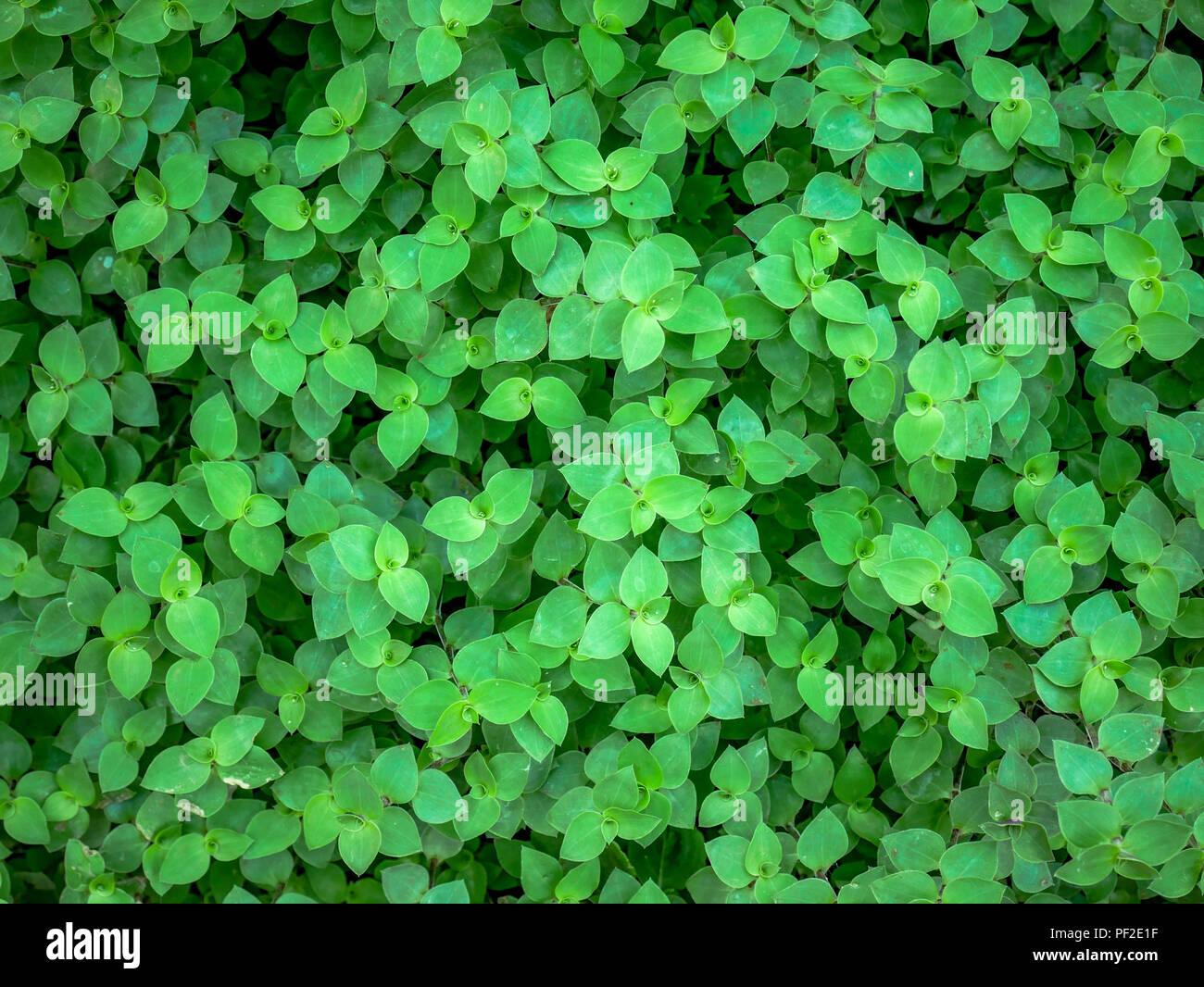 background texture green ivy bush wall in garden Stock Photo