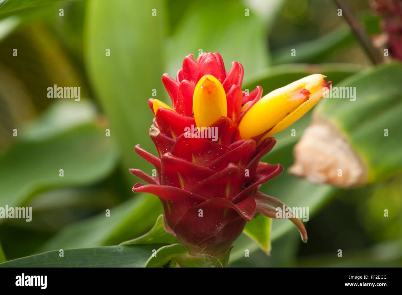 Yellow tubular flowers stock photos yellow tubular flowers stock sydney australia costus barbatus with red inflorescence and bright yellow tubular flowers native to costa mightylinksfo