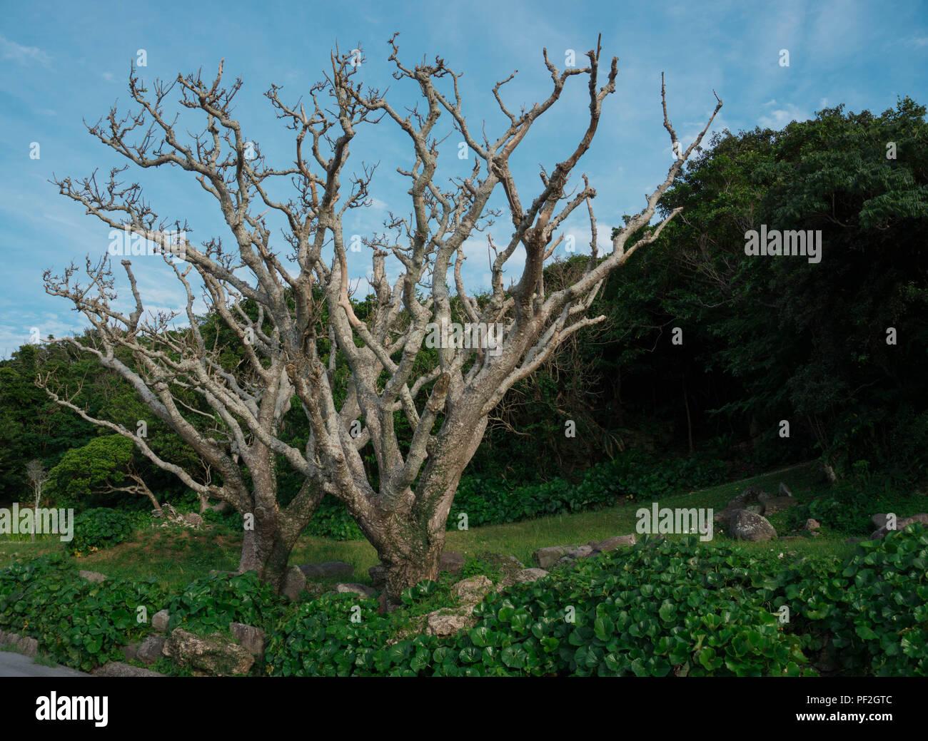 Ein Kahler Baum, mitten am Waldrand von Naha. Stock Photo