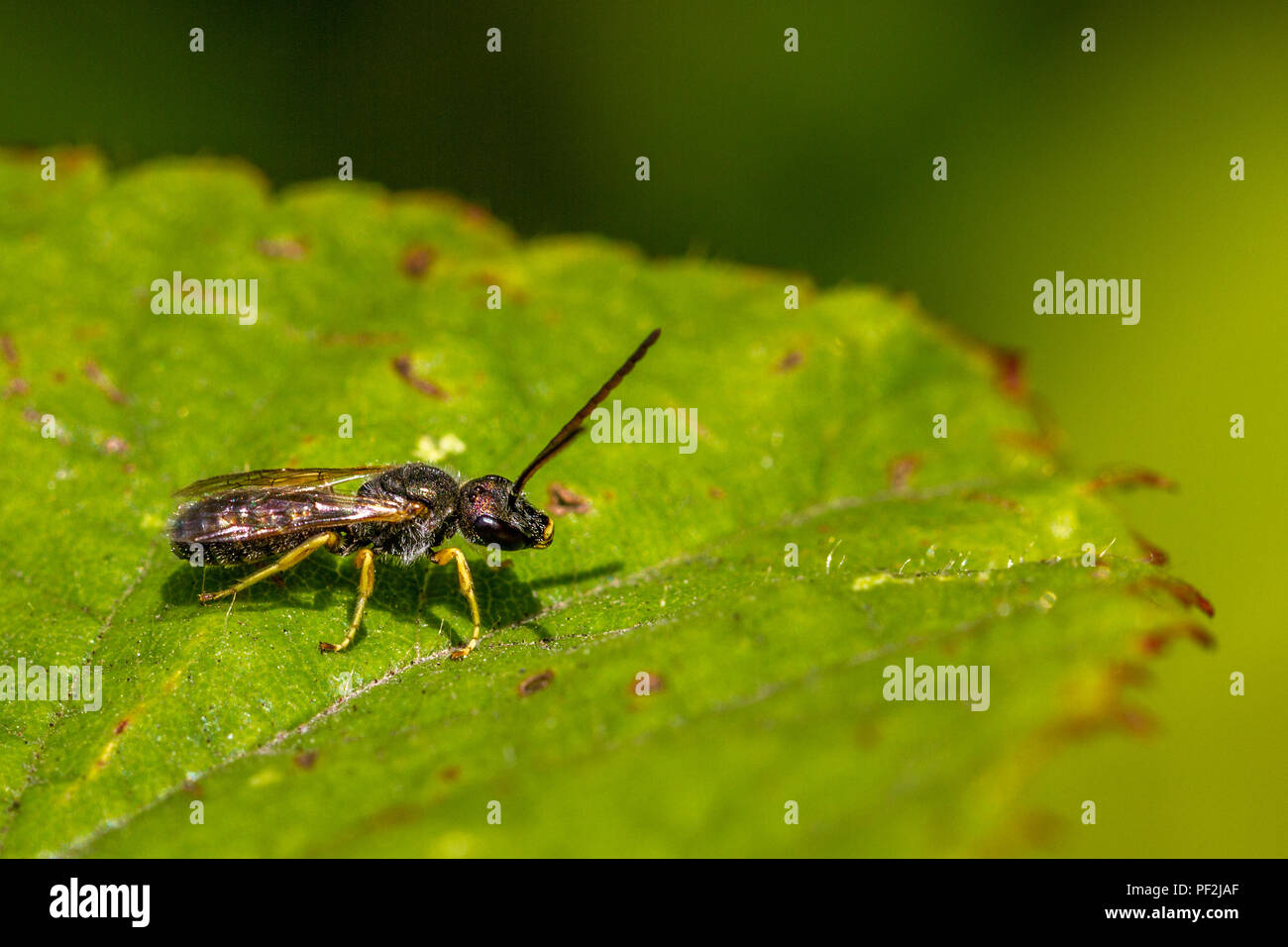 male Halictus tumulorum solitary bee perched on a leaf - Stock Image