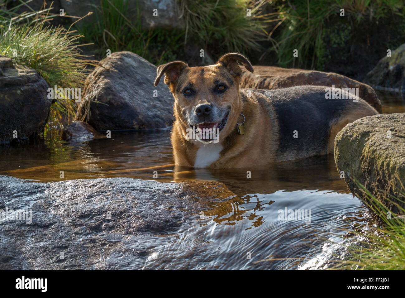 Smiling dog cooling off by laying down in a river in the 2018 heatwave - Stock Image