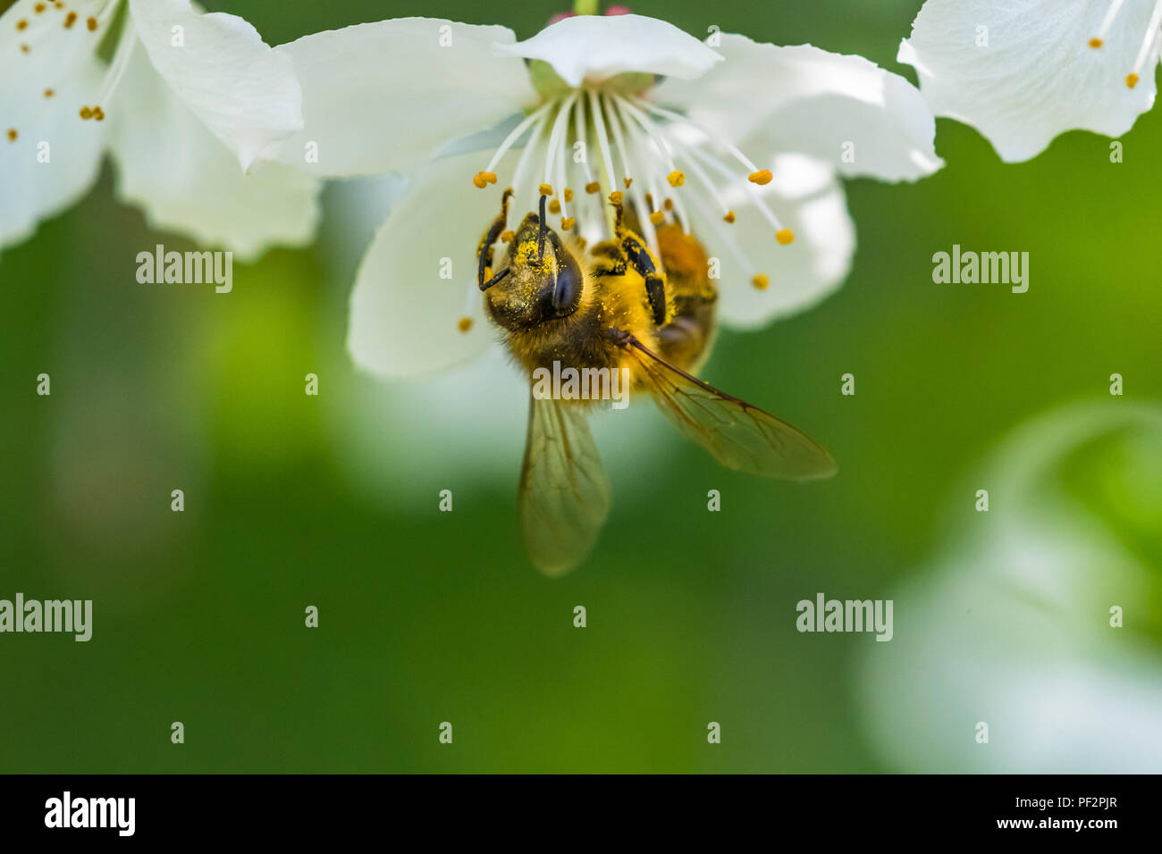 Small yellow bee pollinating a white spring blossom of a cherry. Nice macro shot with a blurred green background. Many details in the picture. A bee c - Stock Image