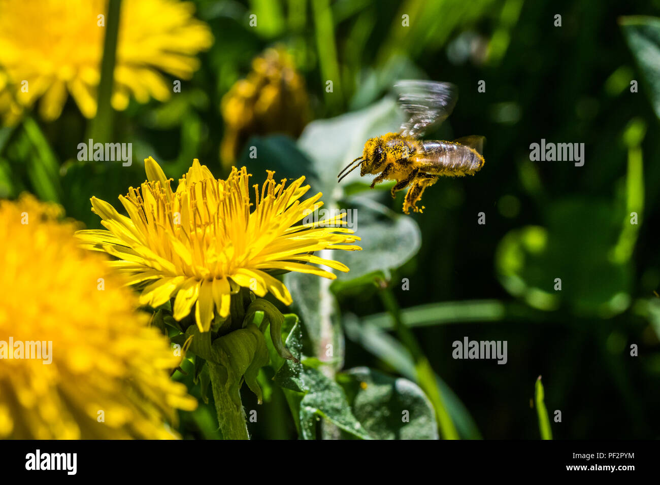 Small yellow bee pollinating a white spring blossom. Caught in a flight. Nice macro shot with a blurred background. Many details in the picture. A bee - Stock Image