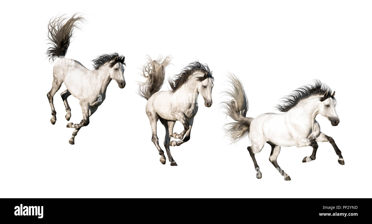 3 White Andalusian horses with black legs and mane galloping isolated on white background - Stock Image