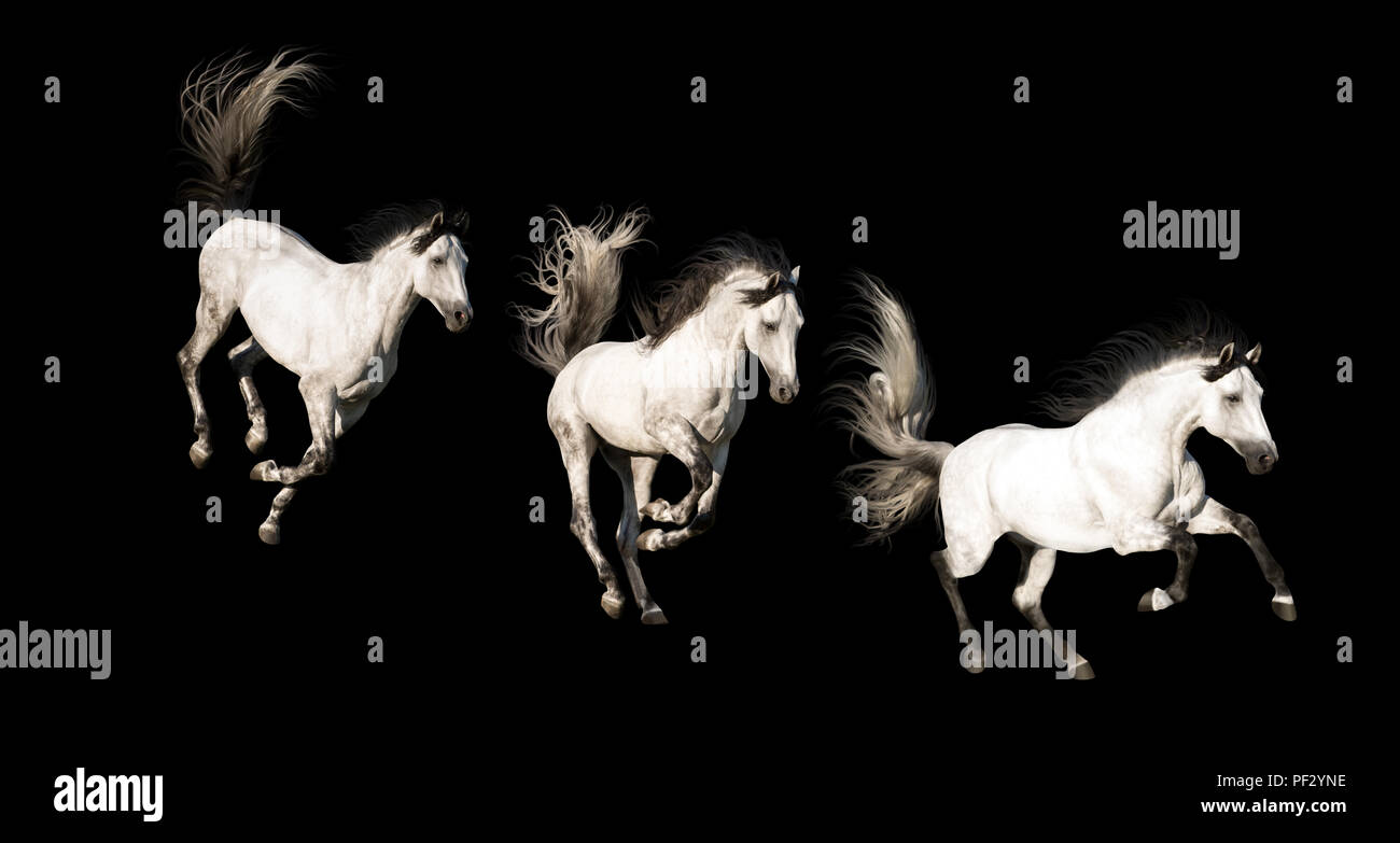 3 White Andalusian horses with black legs and mane galloping isolated on black background - Stock Image