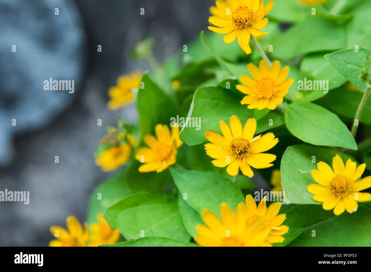 Little yellow star flower singapore dailsy melampodium divaricatum little yellow star flower singapore dailsy melampodium divaricatum with leaf green background and copy space mightylinksfo