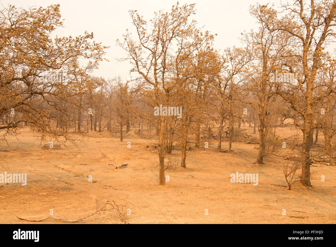 trees burned in the recent wildfire fire storm in Redding, California. Smoke and ash in the air as the fire continues to burn several miles away. - Stock Image