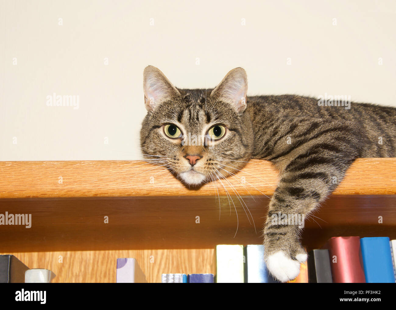 Young Tabby Cat Grey And Tan With White Paws Laying On The Top Of A Bookshelf Looking At Viewer As If Guarding Books Copy Space